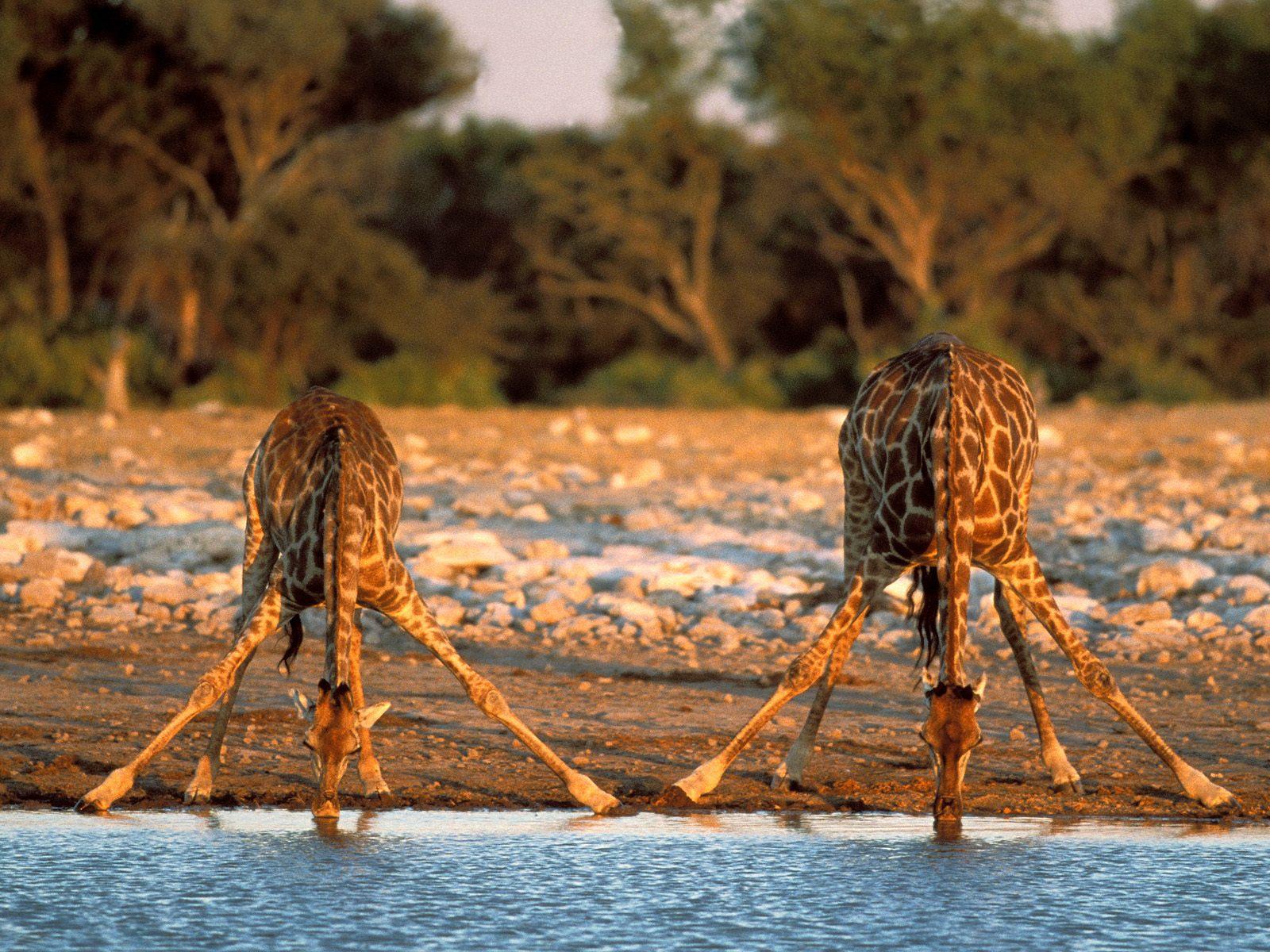 http://4.bp.blogspot.com/-J6bdH56ORjY/TnNCRXIhfRI/AAAAAAAAAL4/T6qZGWrMKxY/s1600/giraffe-wallpaper-21-753051.jpg