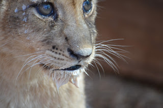 Lion cub at Zebula Game Reserve
