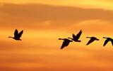 Geese ECNL