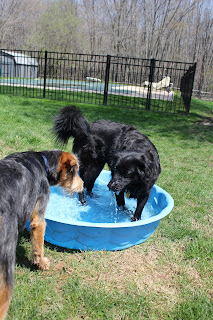 One dog in the pool, one dog considering whether it's worth it to get wet.