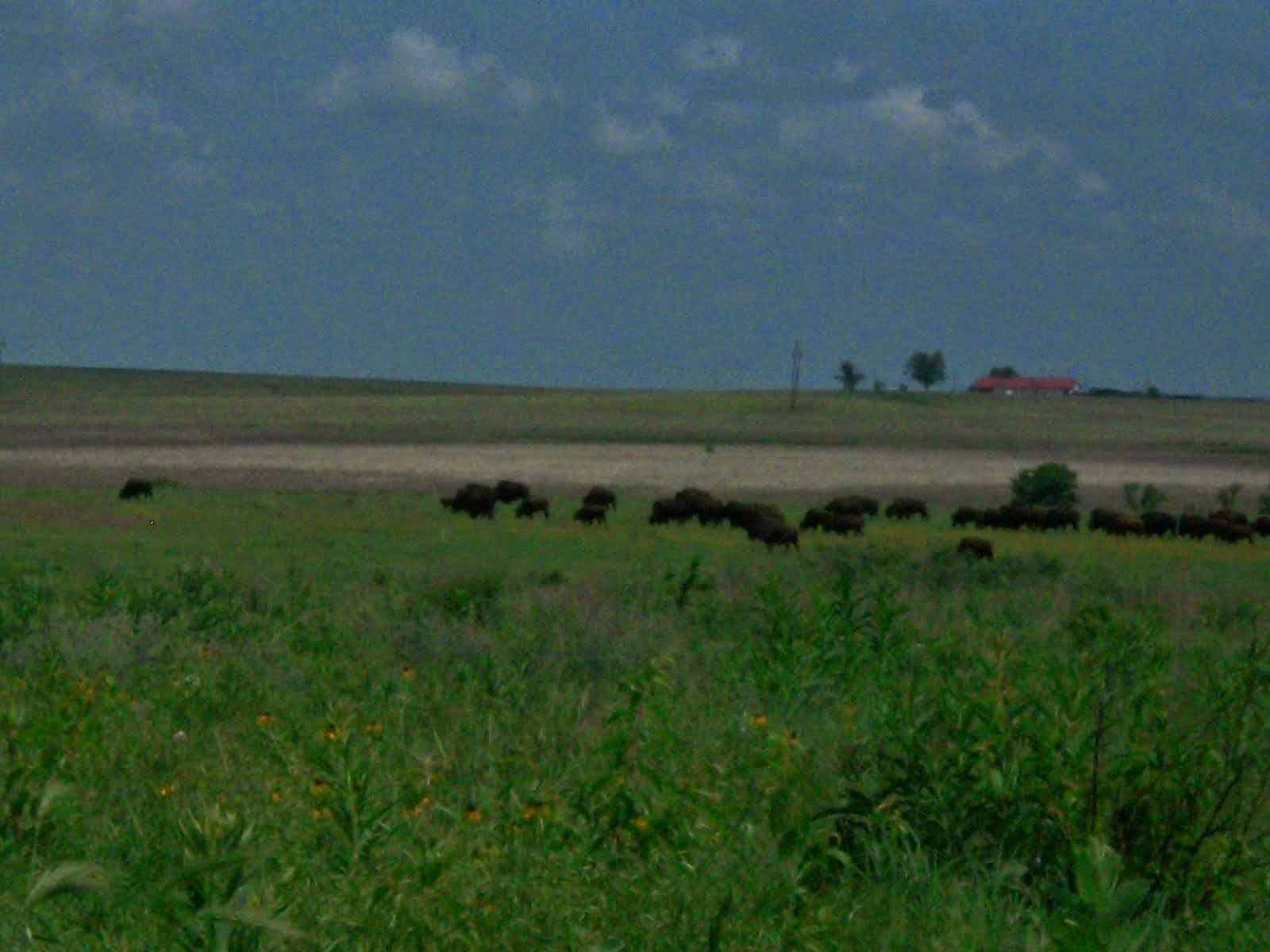 Buffalo, Tall Grass Prairie