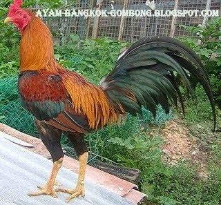 Ayam Bangkok Gombong