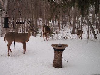 Deer in my backyard