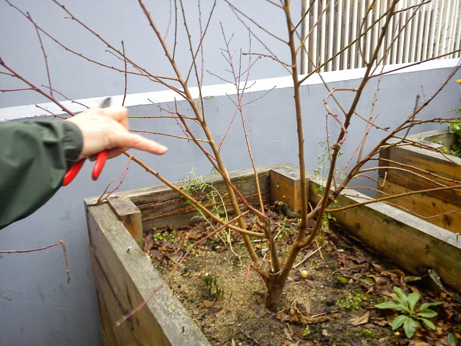 Jardin solidaire l 39 univert taille du p cher et semis - Tailler un pecher ...