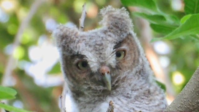 Cute Baby Eastern Screech Owl in Tree