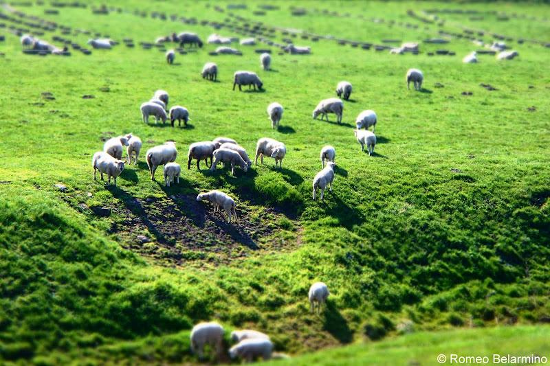 Trelleborg Viking Ring Fortress Sheep Denmark