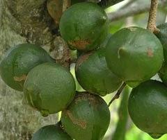 Nuts / Pine Kernels