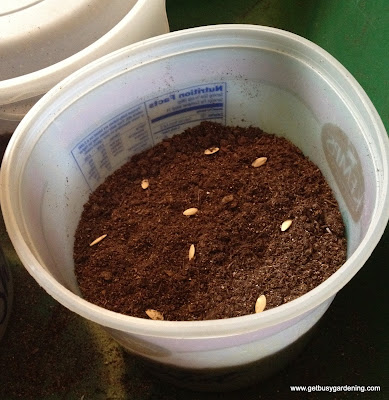 Winter sowing cucumber seeds