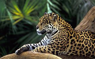 Calm Jaguar
