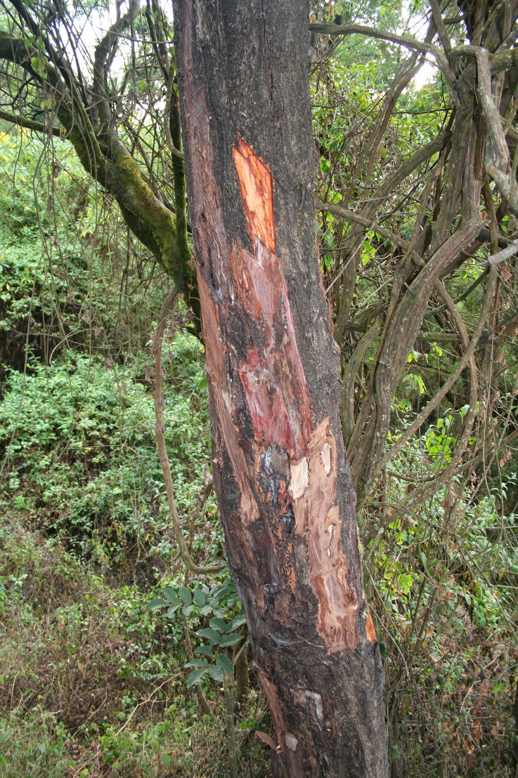 The bark of Prunus africana cures a host of illnesses
