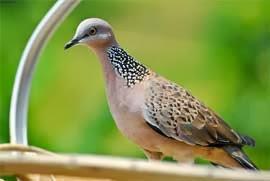 artikel motivasi tentang burung tekukur