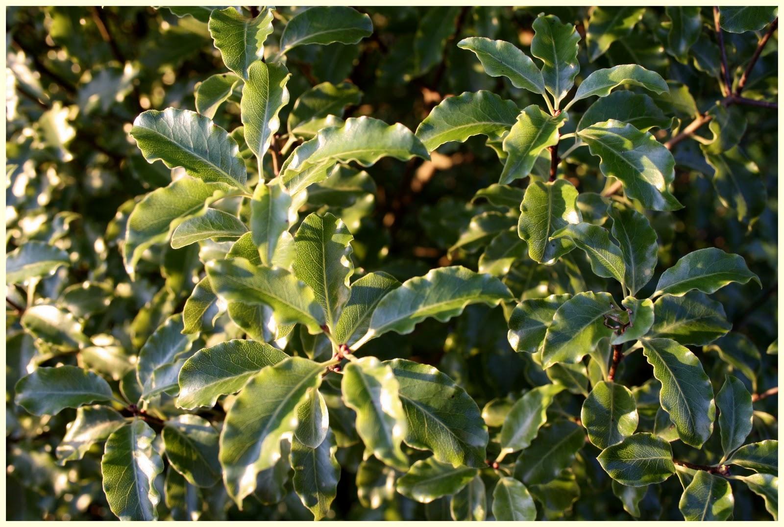 El jard n de margarita pittosporum tenuifolia y azara for Arboles de jardin de hoja perenne