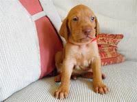 Vizsla Puppy