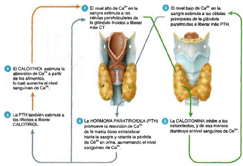 Anatomía y fisiología del sistema endocrino 2BM.