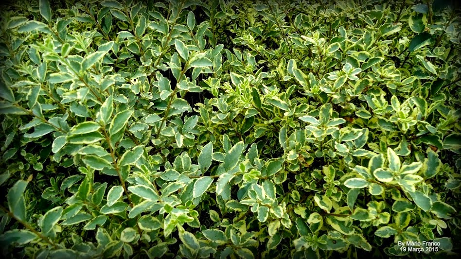 Ligustro arbustivo ligustrum sinense meu cantinho for Ligustro siepe