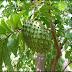 Durian Belanda Yang Banyak Khasiat