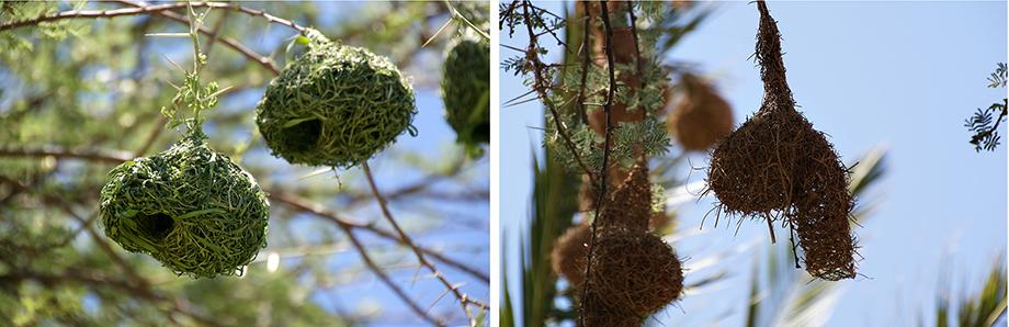 Ynas Reise Blog | Nester der Webervögel