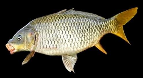 umpan ikan mas kolam,umpan ikan mas terbaik,umpan ikan mas babon,umpan ...