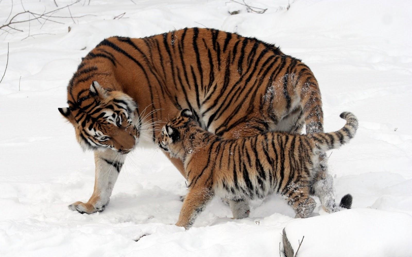 foto macan putih - gambar hewan