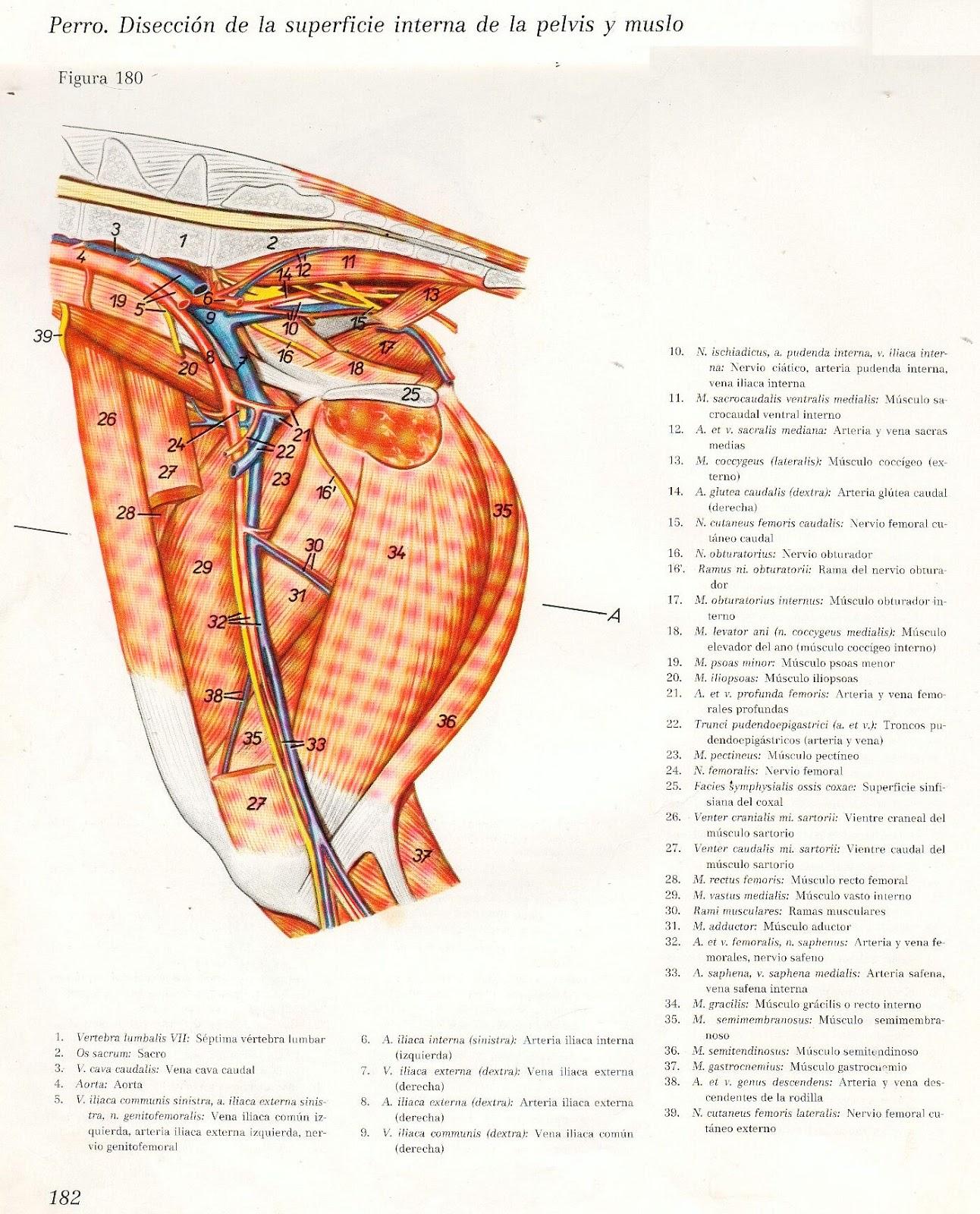 Magnífico La Anatomía Interna De Una Rana Cresta - Imágenes de ...