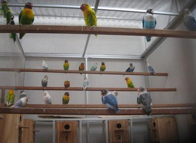 Tips Peluang Sukses Dari Para Peternak Burung Love Bird