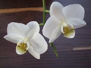 En annan favorit Vit Phalaenopsis