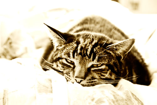 Psynopsis Cat Snoozing