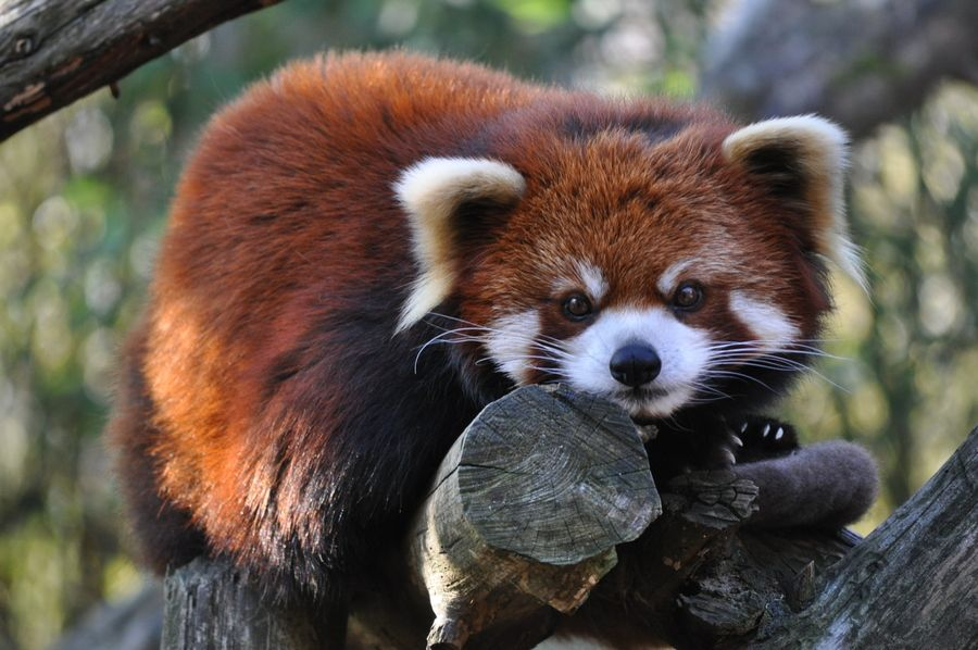 23. Red Panda by mbroz