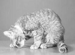 Iperaldosteronismo primario felino