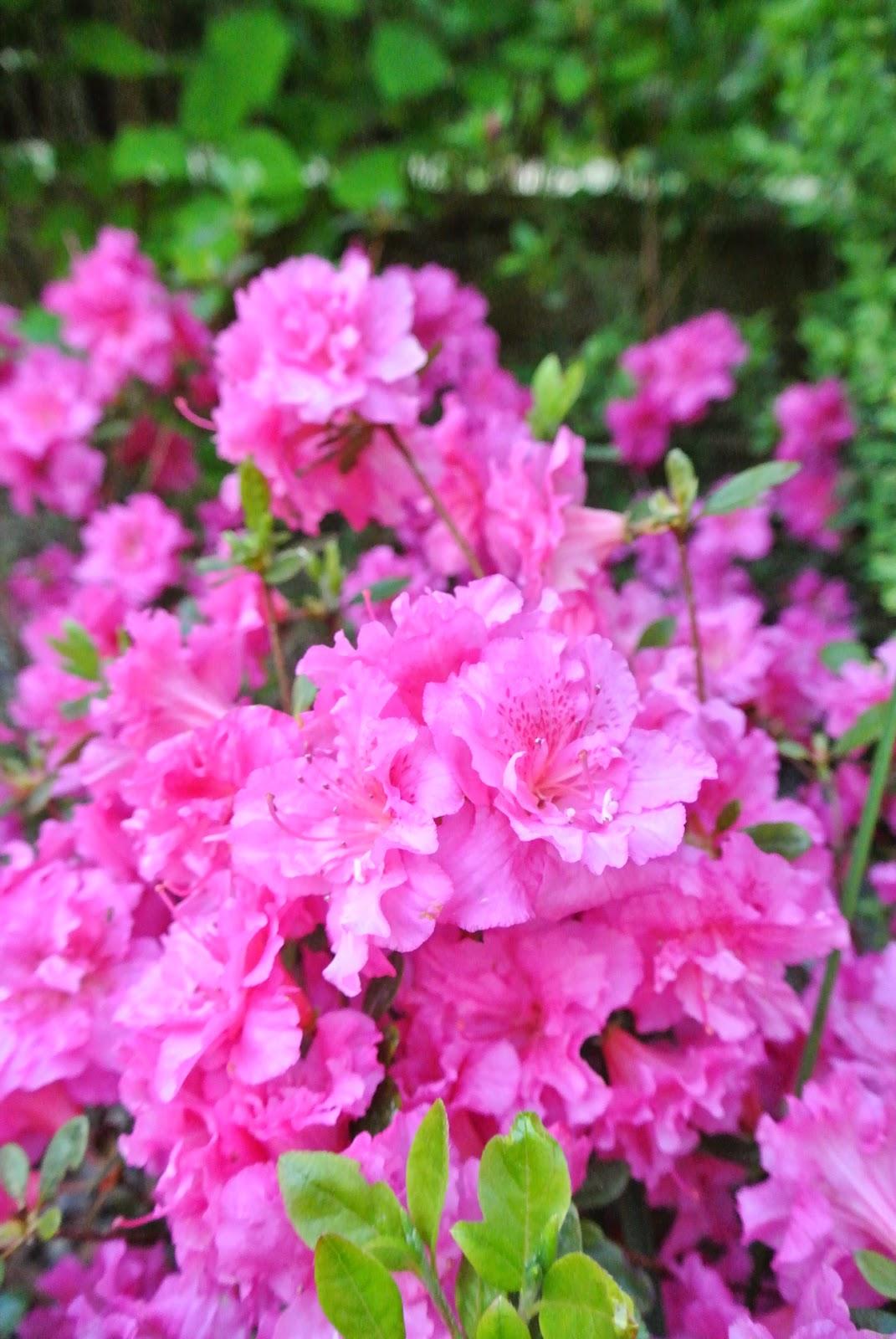 jasno różowa azalia,azalie w ogrodzie,różanecznik,ziemia do azalii,piękny ogród,ogród pełen kwiatów,