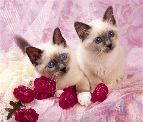 rumusan anda boleh melayari laman web rasmi anak kucing siamKucing Siam