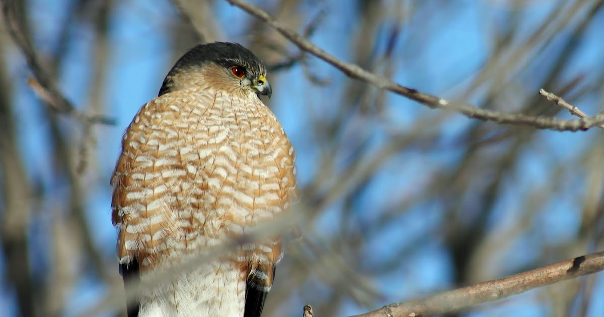 Explore missouri coopers hawk for 2 little birds sat on my window