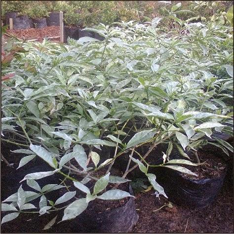 Jual pohon saberna putih | supllier tanaman | jasa tukng taman