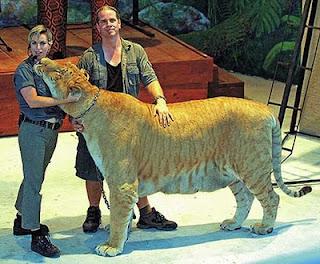 liger 10 Hewan Hasil Persilangan