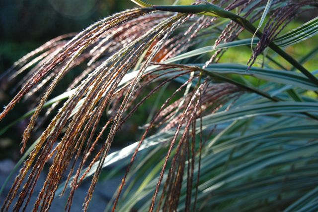 Flowering heads of Miscanthus sinensis 'Dixieland' in the autumn sunset.