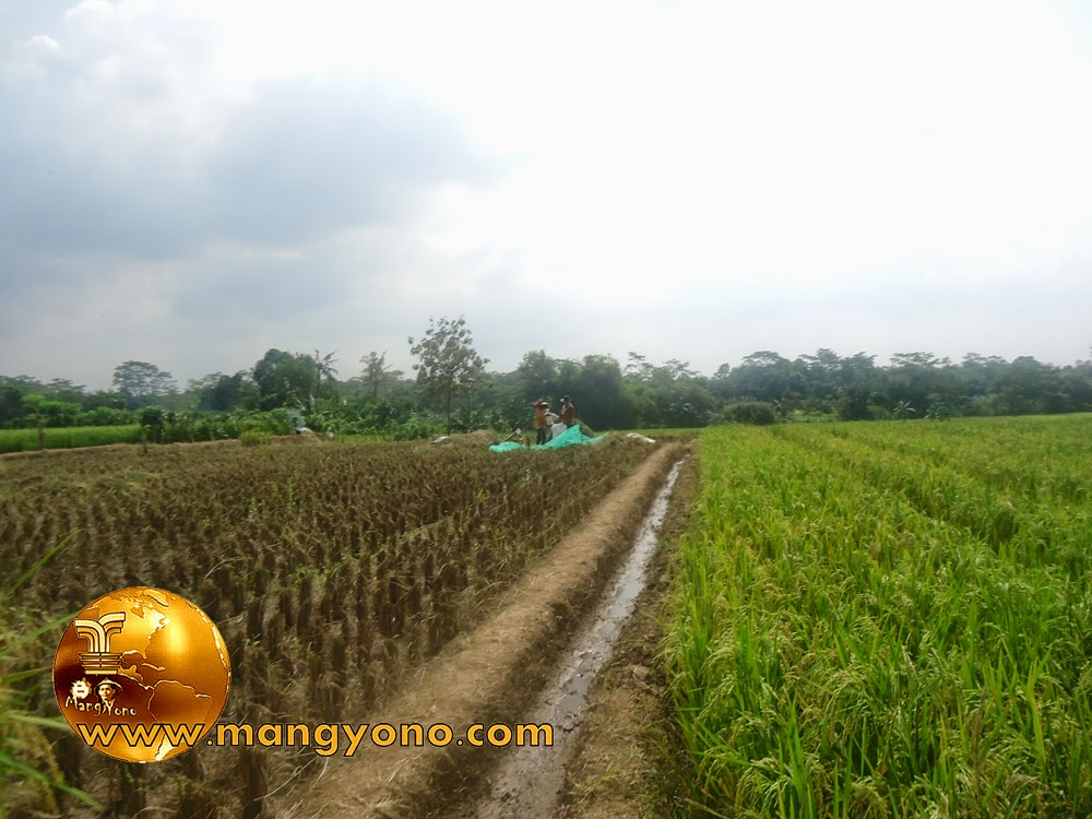 FOTO : Panen padi di sawah blok Tegalsungsang.