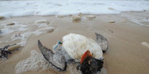 Ouessant notre passion la ligue de protection des oiseaux - Porter plainte aupres du procureur de la republique ...