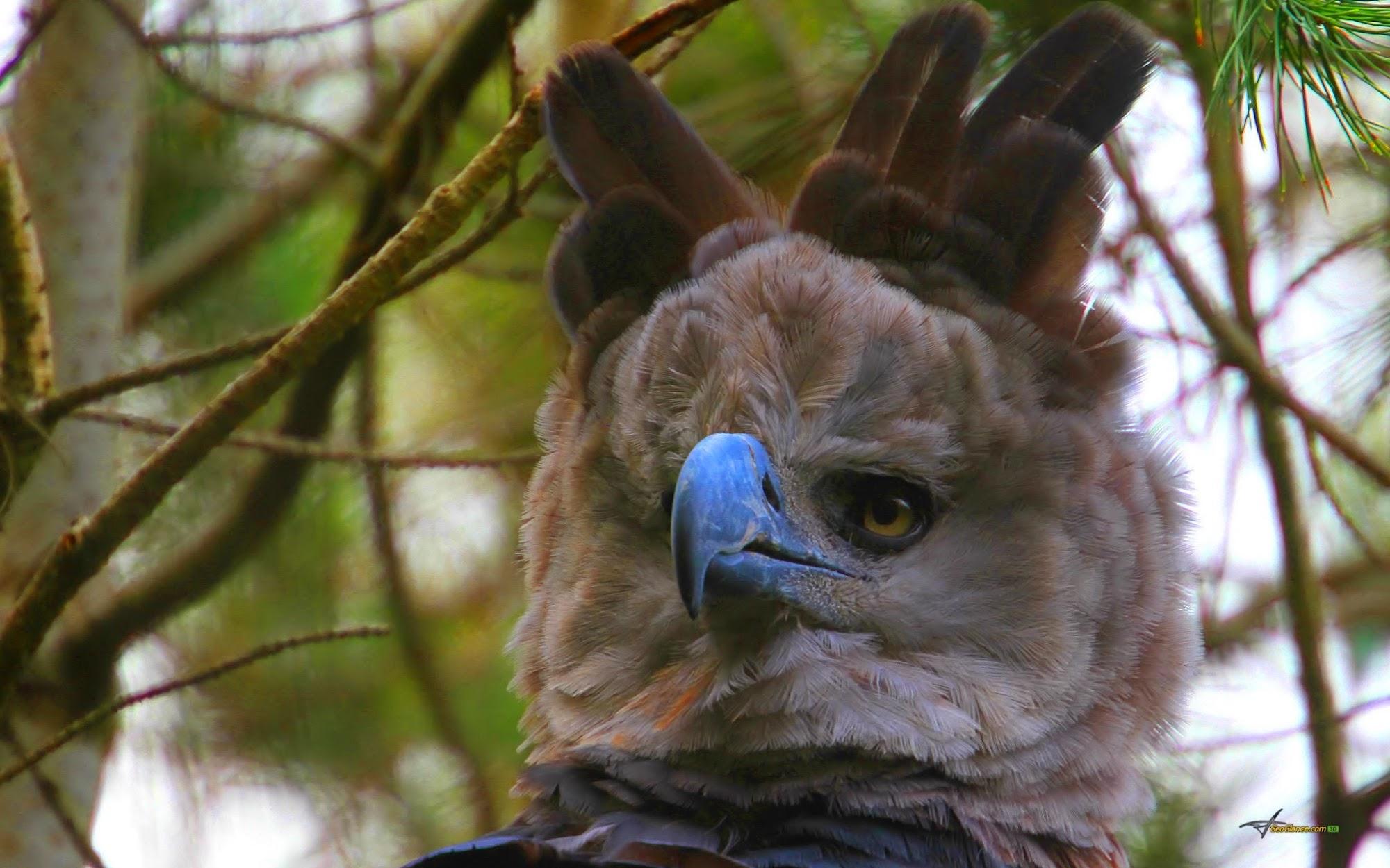 Harpy eagle wallpaper bacgrounds wallpaper backgrounds - Harpy eagle hd wallpaper ...