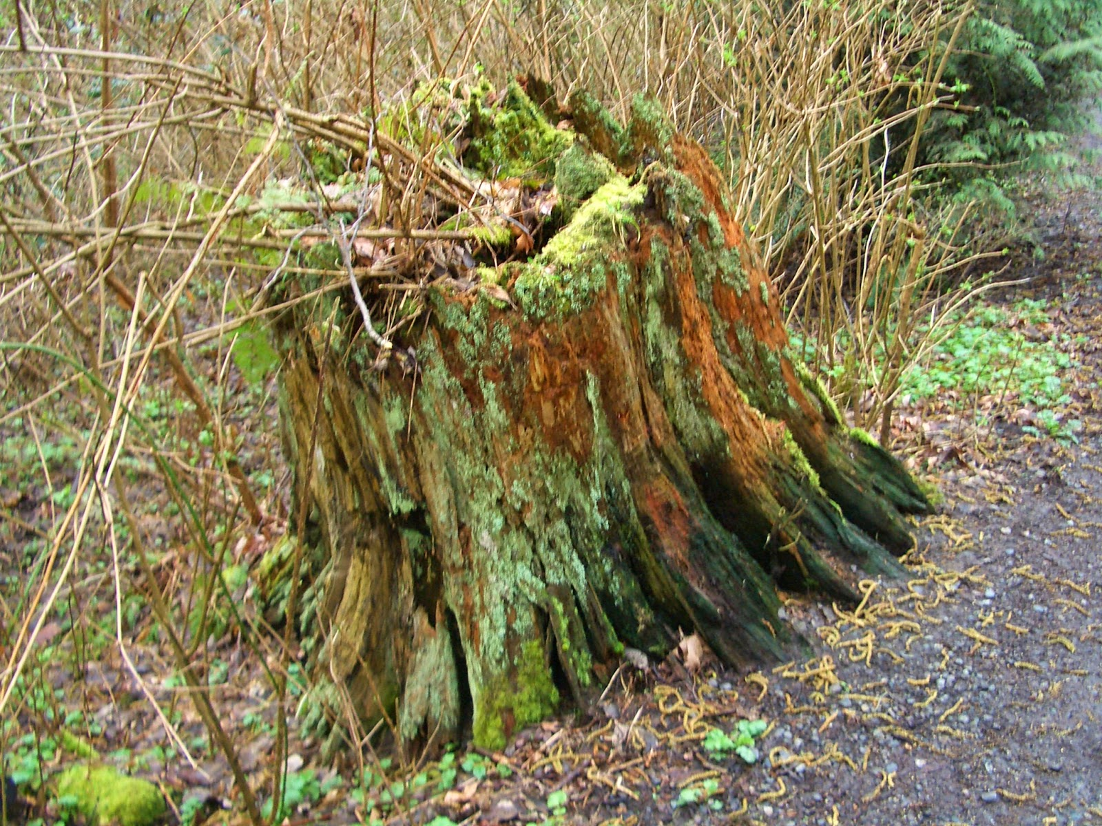 how to kill fungii around tree stump