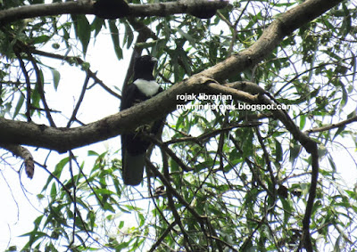 Black Baza in Bidadari