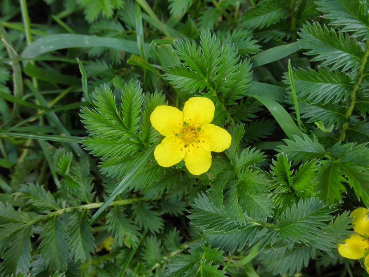 Benefits Of Silverweed (Potentilla Anserina) For Health