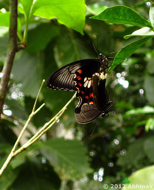 Common Mormon Butterfly (Papilio polytes)