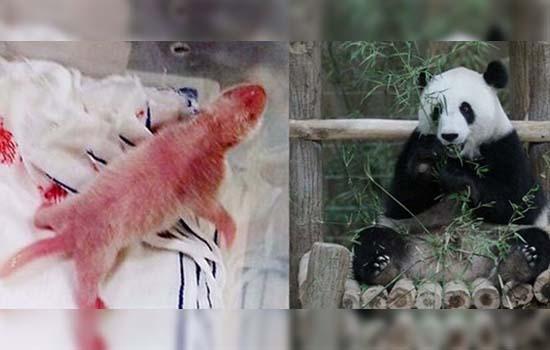 Peraduan Beri Nama Anak Panda, dan Menangi Sebuah Myvi
