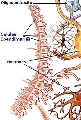 celula del sistema nervioso: