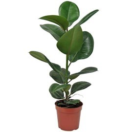 Una casa sana plantas purificadoras 6 ficus robusta for Ficus interior cuidados