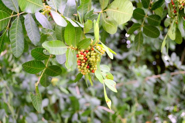 wild berries in Homestead, Florida