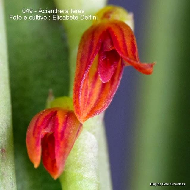Pleurothallis teres ,Humboldtia teres  ,Pleurothallis rupestris ,Pleurothallis pachyphylla ,Humboldtia pachyphylla ,Humboldtia rupestris ,Acianthera rupestris