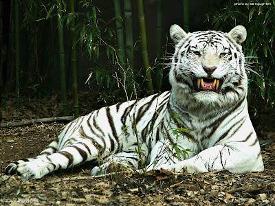 White Tiger Desktop Wallpaper Free