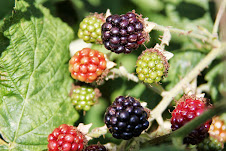 Blackberries, in all stages of ripeness!