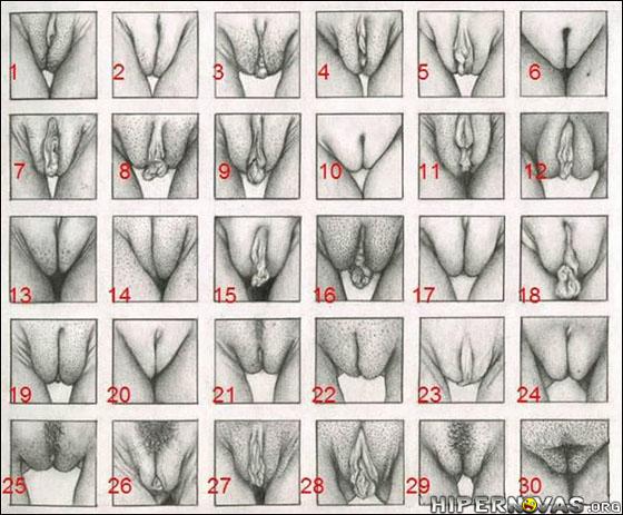 Ilustração mostrando a relação entre os grandes lábios, clitóris e pequenos lábios em diversos tipos de vaginas.